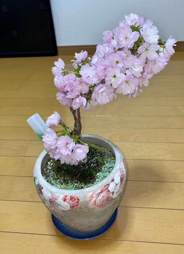 わが家のお花見🌸🍡